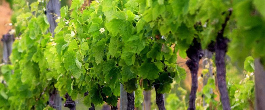 Advanced Viticulture & Management