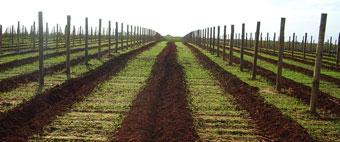 Vineyard development and redevelopment